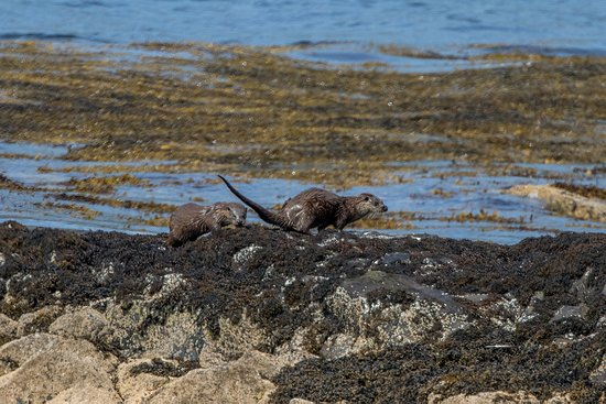 Pennyghael, UK: otters on day tour
