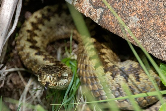 Pennyghael, UK: adder