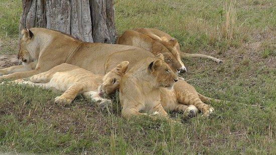 Mara Serena Safari Lodge: Löwenfamilie Mara
