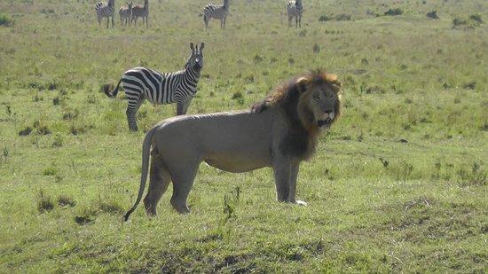 Mara Serena Safari Lodge: Simba Mara Triangle