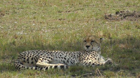 Mara Serena Safari Lodge: Gepatd, Mara Triangle