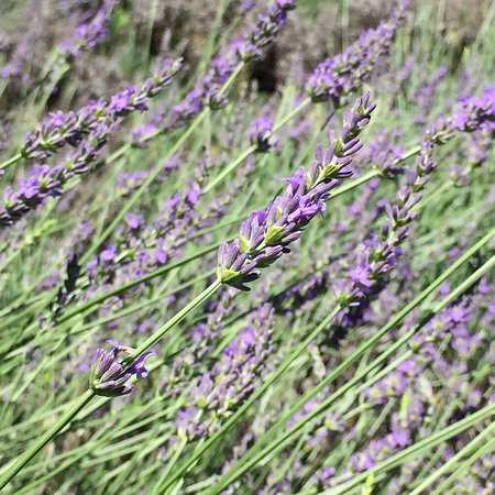 Hope Hill Lavender Farm (Pottsville) - 2019 All You Need to