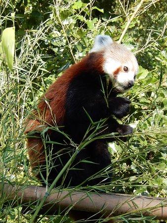 Shepreth Wildlife Park: Red panda