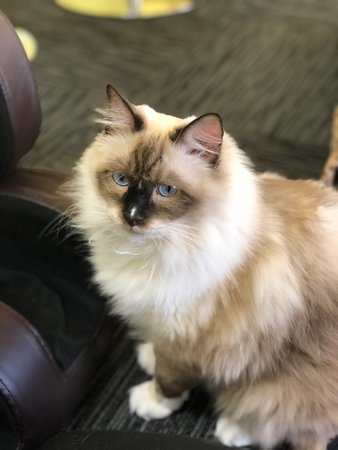 Purebred Ragdoll Kitten - Picture of Fancy Meow Cat Cafe