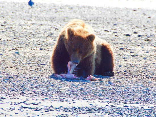 Rust's Flying Service: Bear on the beach digging into some fish