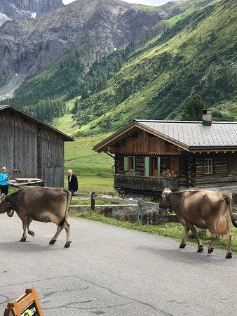 Restaurant zum Bergfuhrer: cows passing by restaurant
