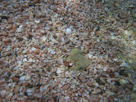 Shell Beach: Shells on the sea floor