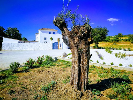 Hotel Ronda Moments: Century Old Olive Trees