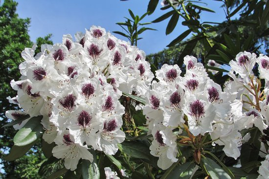 The Beth Chatto Gardens: Gorgeous rhododendrons