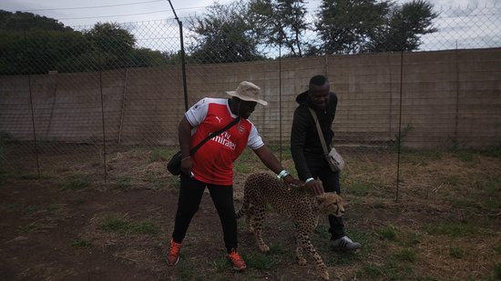 Lion and Safari Park: Appreciating the Cheetah