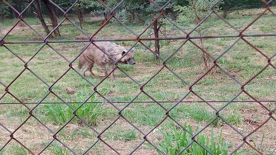 Lion and Safari Park: Hyena