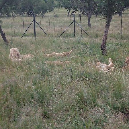 Lion and Safari Park: King Lion