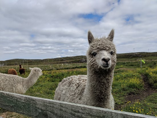 Callanish Alpacas