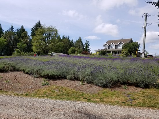Cobble Hill, Canadá: THhis culinary lavender is just at the beginning of its bloom period