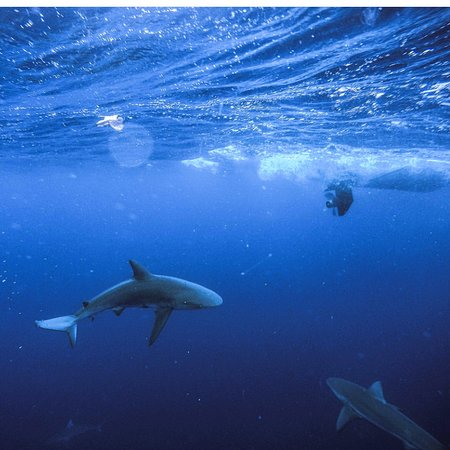Oahu Diving Reef Sharks