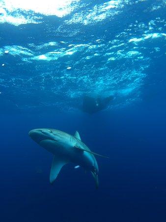 Hawaii Adventure Diving Galapagos Shark