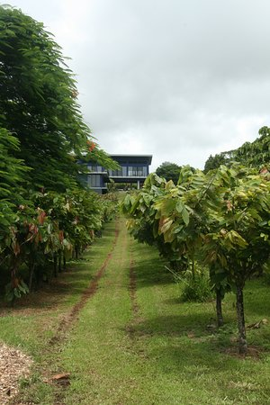 Hamakua Chocolate Farm: Looking back at the house from cacao orchards with the ocean behind you