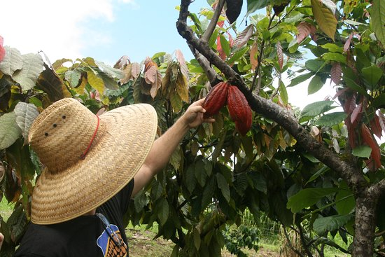 Hamakua Chocolate Farm: Dan showing us how to tell if cacao pods are ripe