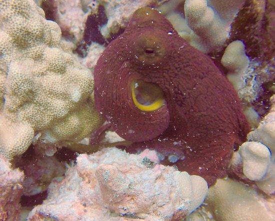 Kona Diving Company: Hawaiian Day Octopus