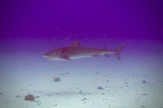Kona Diving Company: Tiger shark
