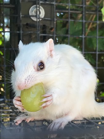 Tropical Butterfly House, Wildlife & Falconry Centre: White Chipmonk hungry for grapes