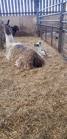 Crosby on Eden, UK: Great to see all the baby animals on the farm park!