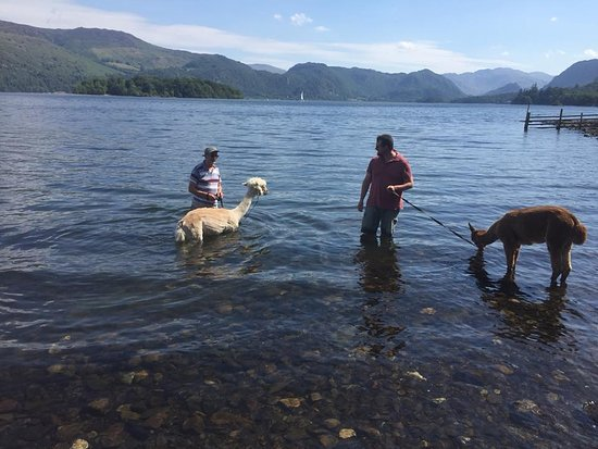 Alpacaly Ever After: Bathing in the lake