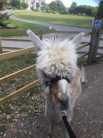 Alpacaly Ever After: Hobbs