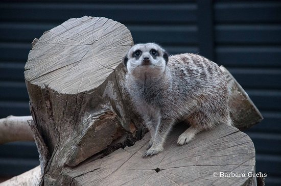Morpeth, UK: Meet the Meerkats