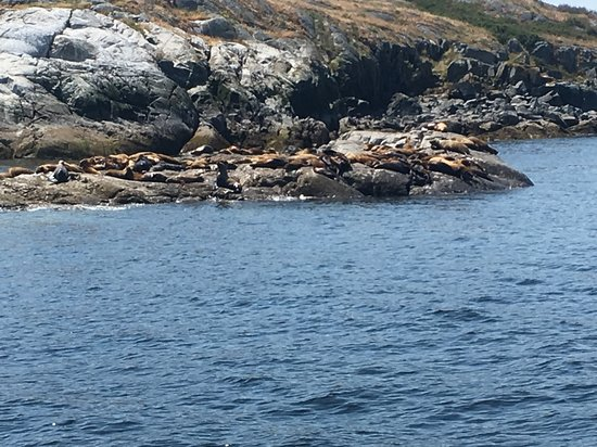 Comox, Canada: Sea Lions on Vivian Island near Powell River