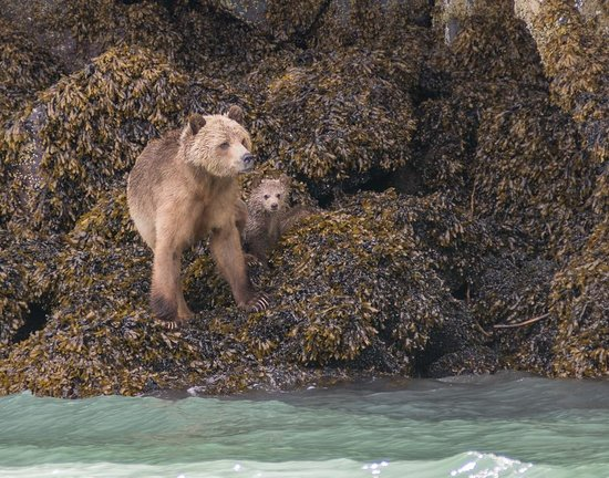 Tide Rip Grizzly Tours: Sow and cubs