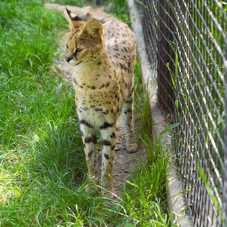 Idaho Falls Zoo at Tautphaus Park: Serval