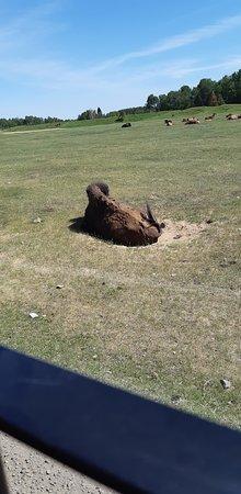 Zoo Sauvage de Saint-Felicien: Le troupeau se repose sous la chaleur !