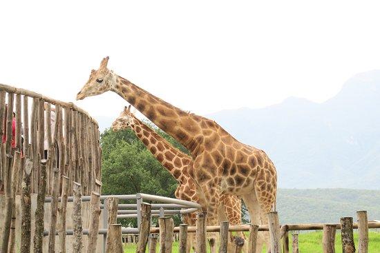 Bioparque Estrella: Giraffes