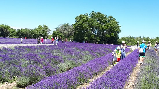 Prince Edward County Lavender