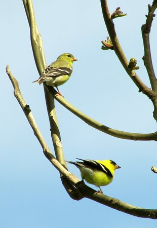 Waynesboro, Pensilvanya: goldfinches