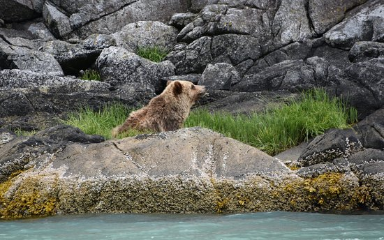 Tide Rip Grizzly Tours: Grizzly on the shore