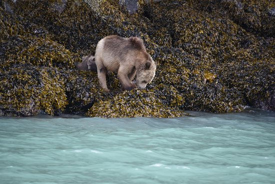Tide Rip Grizzly Tours: Grizzly with cubs