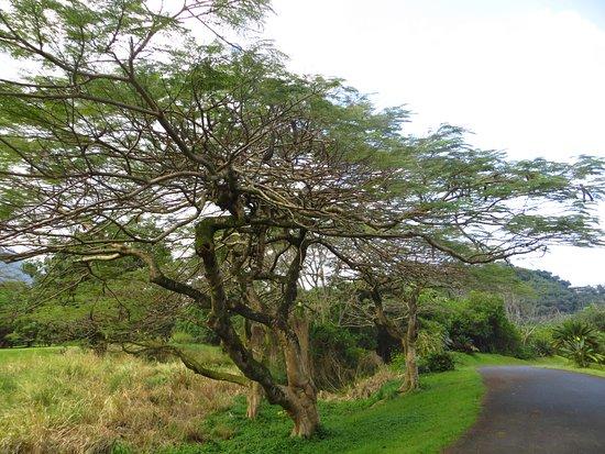 Hoomaluhia Botanical Gardens: Weird Tree