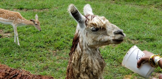 Brandon, MS: Alpaca