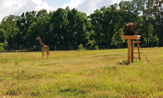Μπράντον, Μισισιπής: Giraffe
