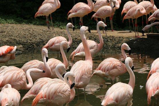 Scotland Neck, Северная Каролина: Lots of entertaining flamingos!