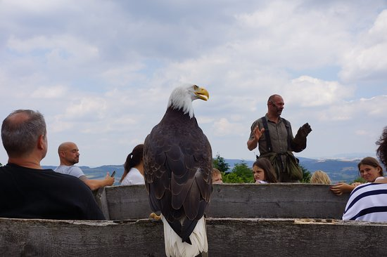 Fockelberg, Jerman: A bald eagle landing upon command with the spectators.