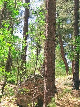 Mormon Lake, AZ: Beautiful Ponderosa Pines