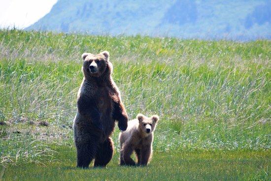 Sea Hawk Air: Mother Kodiac bear with her cub
