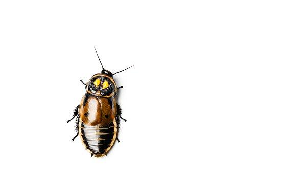 Паланга, Литва: Warty glowspot cockroach (Lucihormetica verrucosa)
