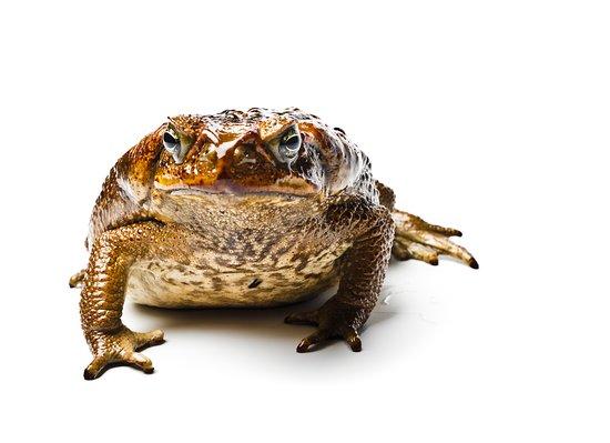 Insectarium: Cane toad (Rhinella marina)