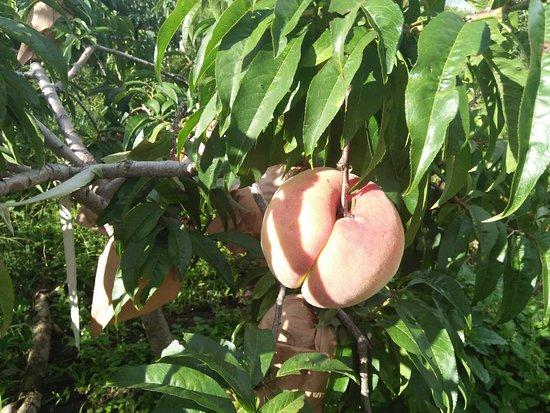 边居酒店: 果园中的桃树