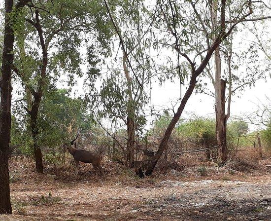 Tiger Moon Resort: Sambhar deer inside the Resort