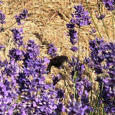 Mayfield Lavender Farm照片